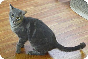 Domestic Shorthair Cat for adoption in Manning, South Carolina - Phoenix