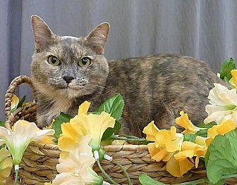Calico Cat for adoption in Houston, Texas - Tessa