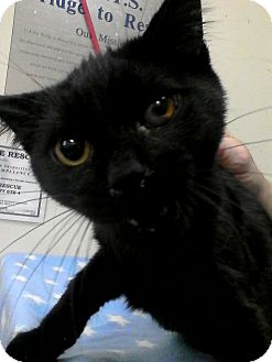 Domestic Shorthair Kitten for adoption in Trevose, Pennsylvania - Licorice