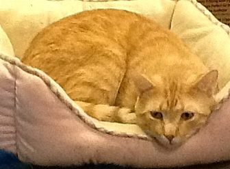 Domestic Shorthair Cat for adoption in oakland park, Florida - Kimchee