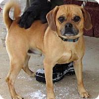Adopt A Pet :: Pugzee - Elmwood Park, NJ