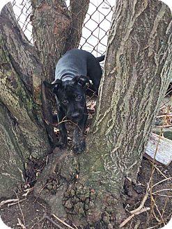 Pit Bull Terrier/Labrador Retriever Mix Puppy for adoption in Acushnet, Massachusetts - Loki