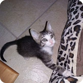 Domestic Shorthair Kitten for adoption in Riverview, Florida - Adam's Family