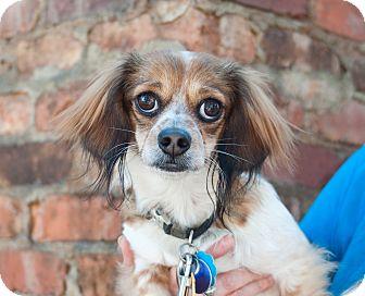 Dachshund/Cavalier King Charles Spaniel Mix Dog for adoption in Atlanta, Georgia - Fabio