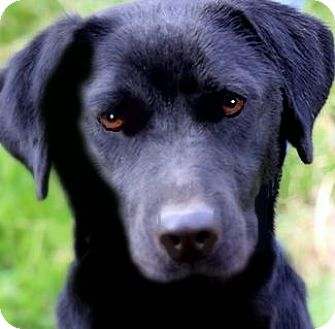 "Labrador Retriever Dog for adoption in Wakefield, Rhode Island - JEWELS(OUR ""LAB PETITE""!!"