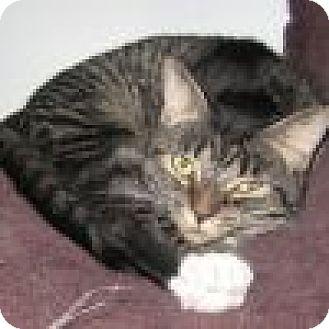 Domestic Shorthair Cat for adoption in Powell, Ohio - Shadia