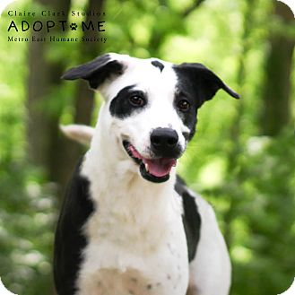 Labrador Retriever/Cattle Dog Mix Dog for adoption in Edwardsville, Illinois - Sadie