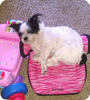 Shih Tzu/Terrier (Unknown Type, Small) Mix Dog for adoption in Cairo, Georgia - Lollipop