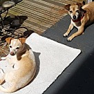 Adopt A Pet :: Aspen & Apollo - foster needed