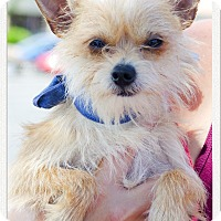 Adopt A Pet :: Gizmo tiny Therapy dog - Sacramento, CA