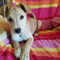 Labrador Retriever Mix Puppy for adoption in Southington, Connecticut - Lexi