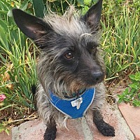 Adopt A Pet :: Toto - Santa Monica, CA