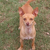 Adopt A Pet :: Happy chi - Pipe Creed, TX