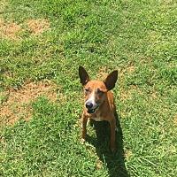 Adopt A Pet :: Devo - Huntington Beach, CA