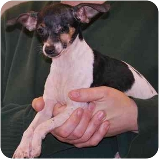 Rat Terrier Mix Dog for adoption in Gallatin, Tennessee - Chicka