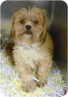 Shih Tzu Mix Dog for adoption in Loudonville, New York - Hudson