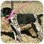 Photo 2 - English Pointer Mix Puppy for adoption in Muldrow, Oklahoma - Jo Beth