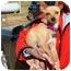 Photo 2 - Chihuahua Mix Dog for adoption in Fairmount, Georgia - Penny