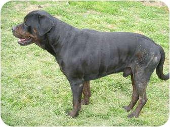 English Mastiff Mix Dog for adoption in Stockton, Missouri - HUDSON