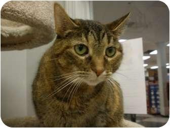 Domestic Shorthair Cat for adoption in Palatine, Illinois - Fantasia