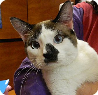 Ragdoll Cat for adoption in The Colony, Texas - Andy