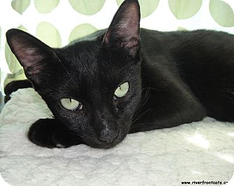Domestic Shorthair Cat for adoption in Miami, Florida - Ninji