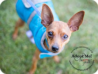 Miniature Pinscher Mix Dog for adoption in Myersville, Maryland - Boris