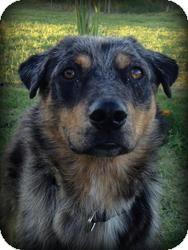 Australian Shepherd/Australian Cattle Dog Mix Dog for adoption in Coppell, Texas - Charlie