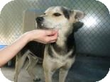 Shepherd (Unknown Type) Mix Dog for adoption in Brooklyn, New York - Jasper