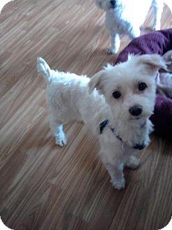 Maltese Dog for adoption in Telford, Pennsylvania - Dyaln
