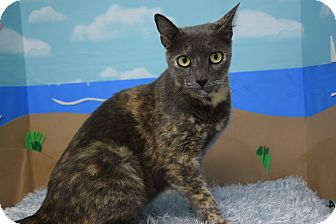 Domestic Shorthair Cat for adoption in Bradenton, Florida - Speckles
