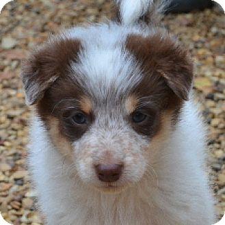Border Collie/Australian Cattle Dog Mix Puppy for adoption in Garland, Texas - Brooklyn