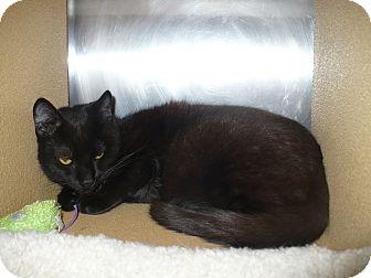 Domestic Shorthair Cat for adoption in Colmar, Pennsylvania - Mark