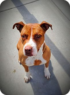 Pit Bull Terrier Dog for adoption in Tracy, California - Daisy