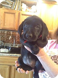 Golden Retriever/Labrador Retriever Mix Puppy for adoption in Knoxville, Tennessee - Annie