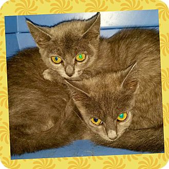 Russian Blue Kitten for adoption in Arcadia, California - Abby