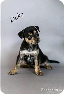 Husky/Redtick Coonhound Mix Puppy for adoption in Apex, North Carolina - Duke