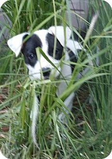 Labrador Retriever/Boxer Mix Puppy for adoption in Palatine, Illinois - Lily