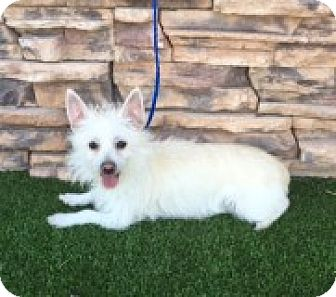 Terrier (Unknown Type, Small) Mix Dog for adoption in Las Vegas, Nevada - Sasha