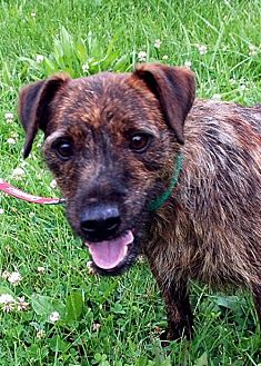 Wirehaired Fox Terrier Dog for adoption in Lacon, Illinois - Ben