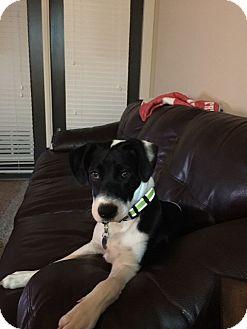 American Bulldog Mix Dog for adoption in Homewood, Alabama - Boji