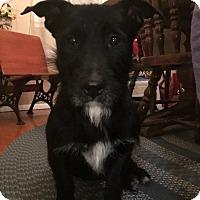Adopt A Pet :: Spade - Millersville, MD