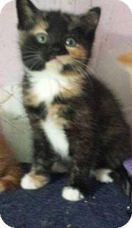 Domestic Shorthair Kitten for adoption in Fayette City, Pennsylvania - Adopt me!