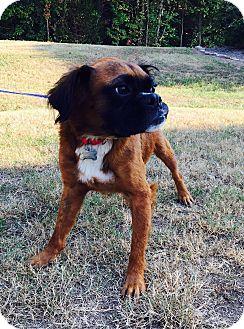 Boxer/Australian Shepherd Mix Dog for adoption in Hagerstown, Maryland - Oskar (rbf)