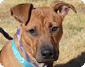 Boxer Mix Dog for adoption in Portola, California - Daisy