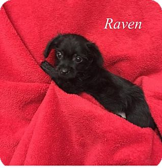 Yorkie, Yorkshire Terrier/Chihuahua Mix Puppy for adoption in Chester, Illinois - Raven