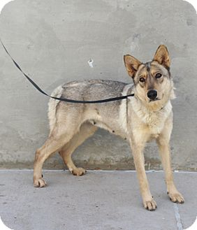 Shepherd (Unknown Type) Mix Dog for adoption in Odessa, Texas - A12 Jenny