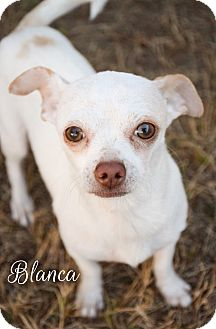 Chihuahua Mix Dog for adoption in DFW, Texas - Blanca