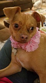 Pug/Chihuahua Mix Dog for adoption in Lake Jackson, Texas - CoCo