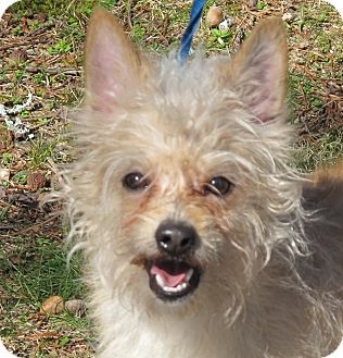 Cairn Terrier/Yorkie, Yorkshire Terrier Mix Dog for adoption in Hagerstown, Maryland - Brady 9 lbs